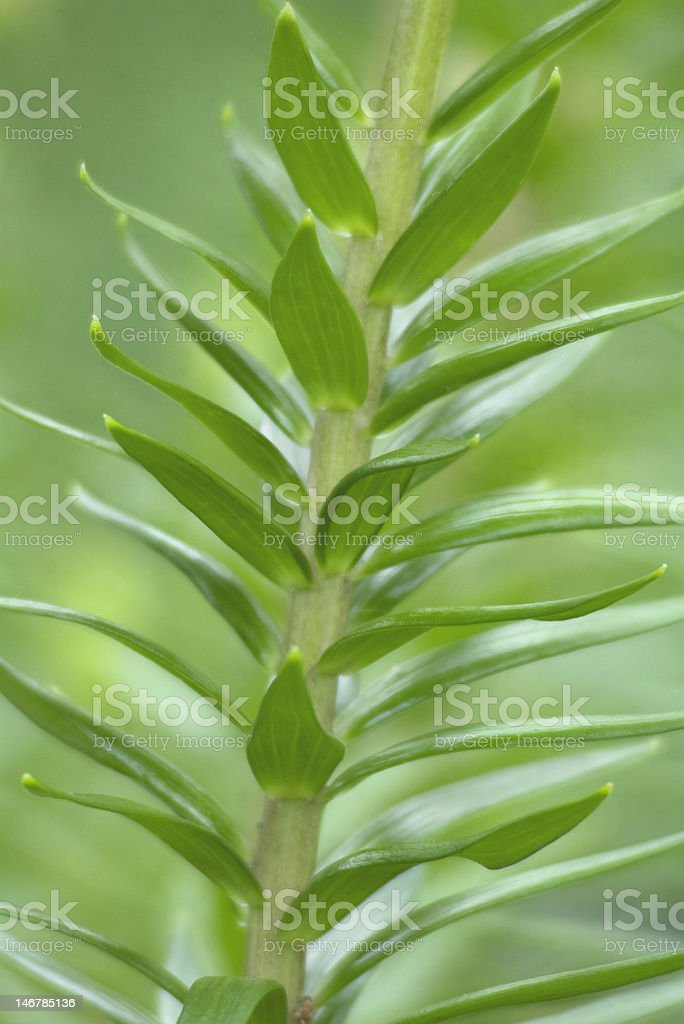 Stalking a Tiger Lily Plant royalty-free stock photo