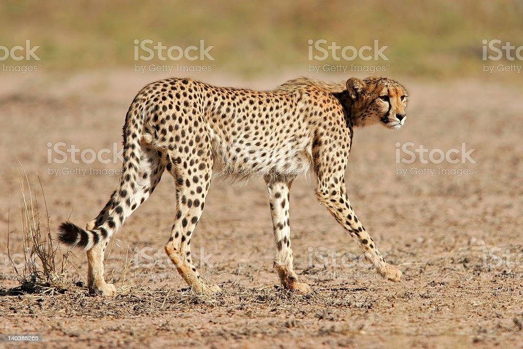 Stalking Cheetah royalty-free stock photo
