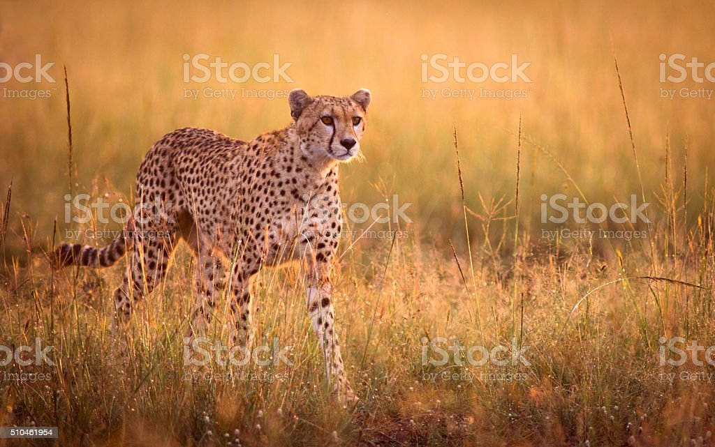 Acechar guepardo - foto de stock