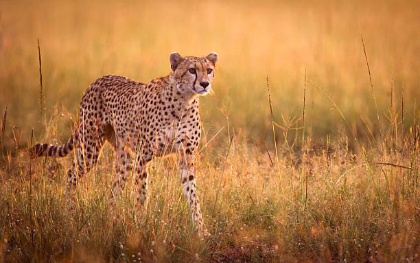 stalking cheetah - jachtluipaard stockfoto's en -beelden