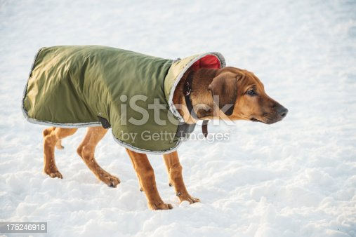 Stalking young rhodesian puppy playing outside after the snow storm in Helsinki, Finland.