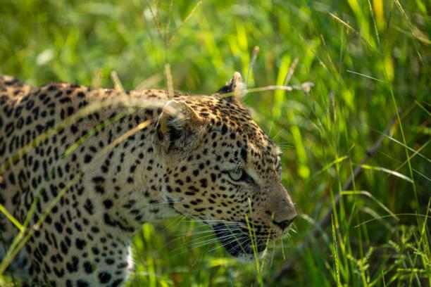 A stalking female leopard – zdjęcie