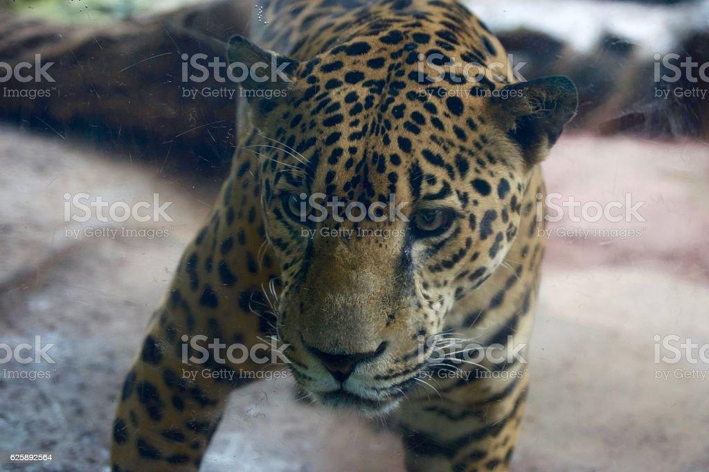 Stalking Jaguar stock photo