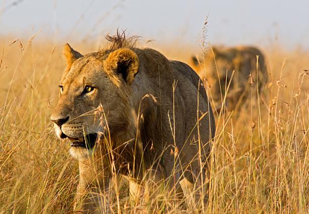 Acechar lions - foto de stock