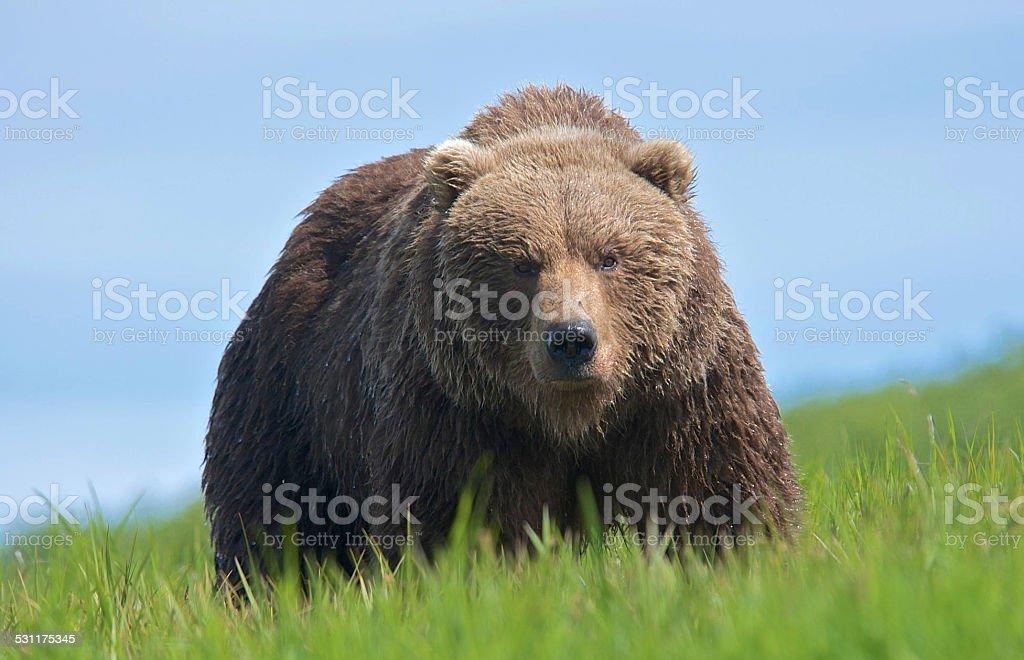 Stalking Wild Alaska Brown Bear stock photo