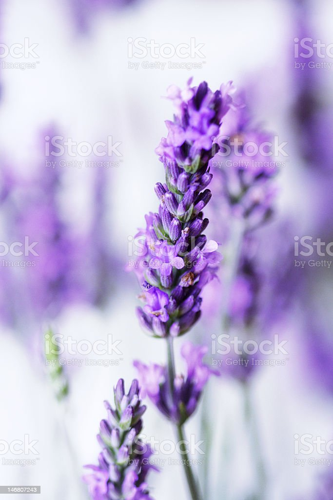 Stalks of lavender on a white background royalty-free stock photo