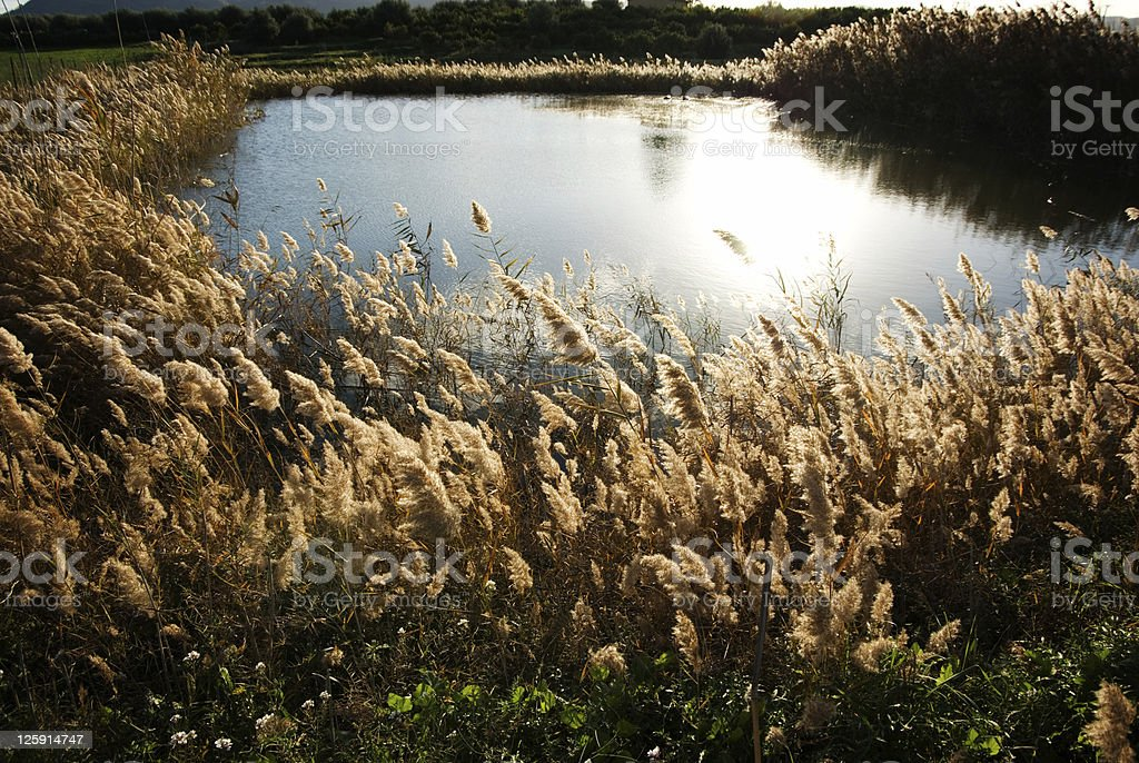 stalks of reed bloom in pond royalty-free stock photo