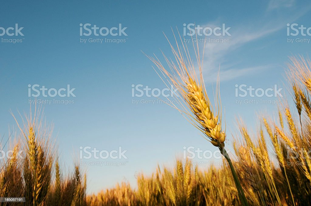 Stalks of ripe grain in field royalty-free stock photo