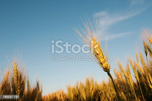 istock Stalks of ripe grain in field 185057191