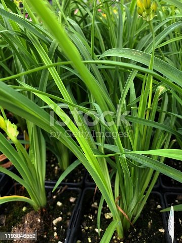 Stalks of stella de oro daylily in pots