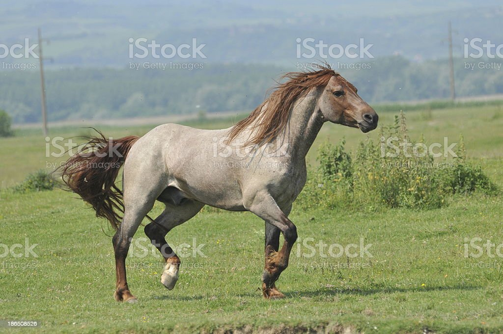 stallion galloping royalty-free stock photo