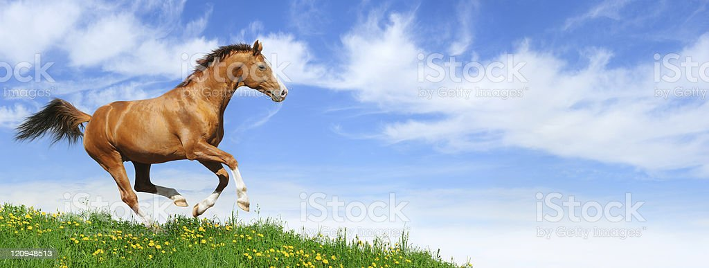 Stallion gallops in field royalty-free stock photo