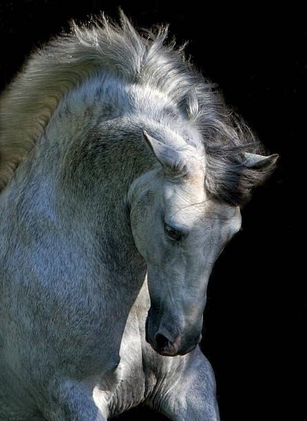Stallion Horse Andalusian BW Dressage Black Background stock photo