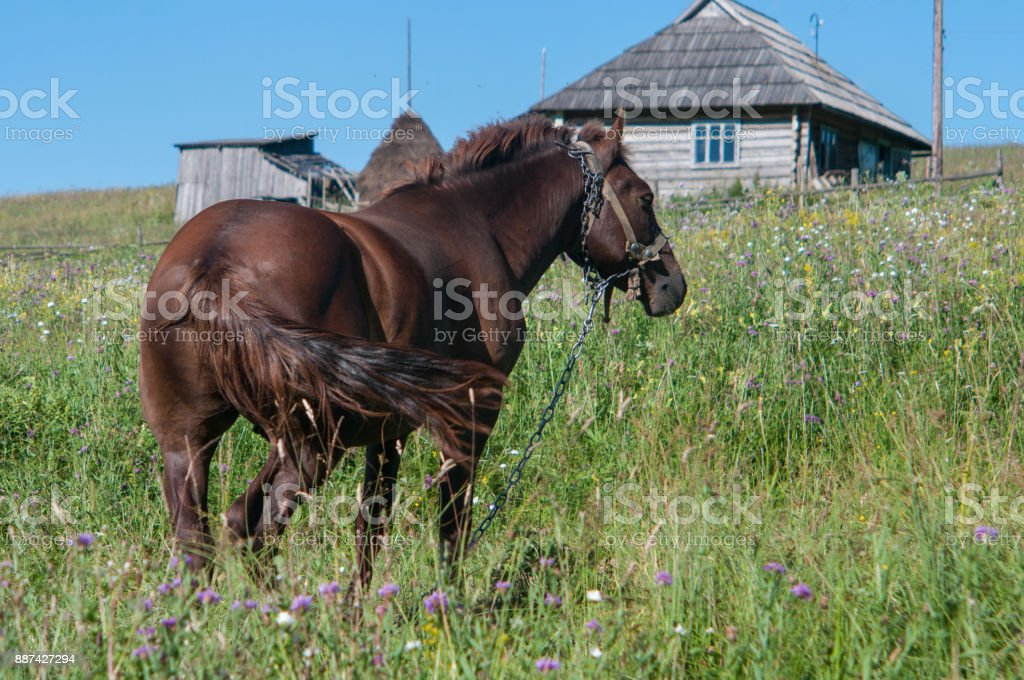 Stallion is grazing off the grass in a village stock photo