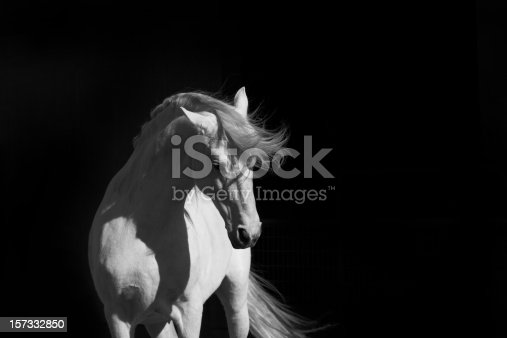 A high contrast shot of a white Andalusian stallion in the sun against a black background.