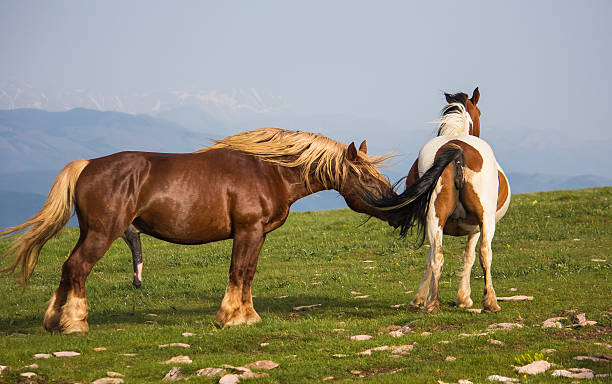 Stallion with her companion stock photo