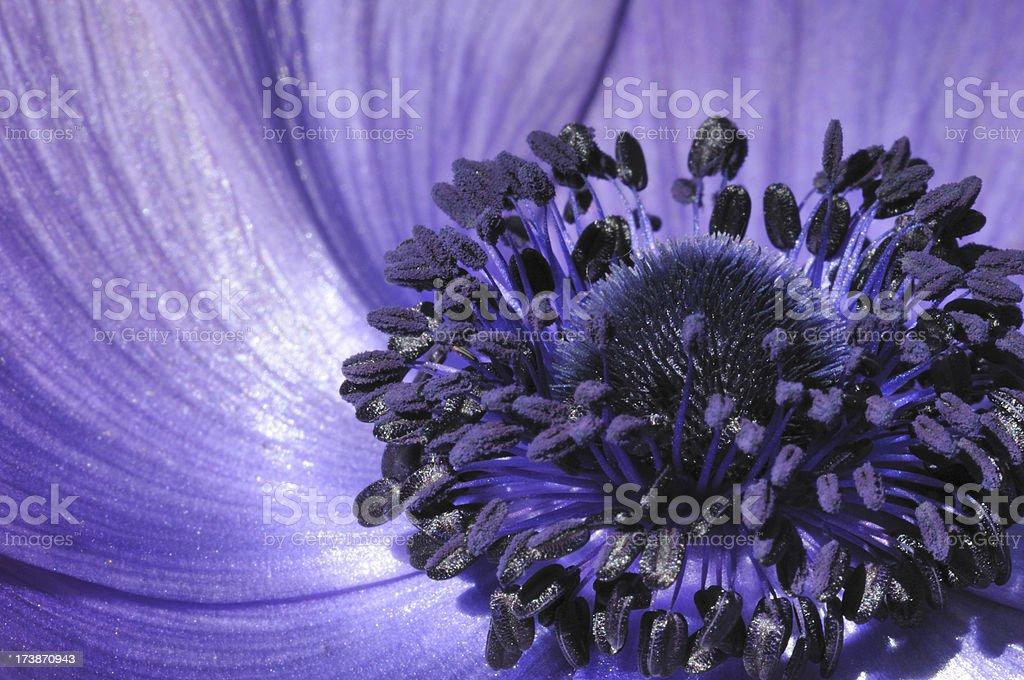 Stamen of Blue Poppy royalty-free stock photo