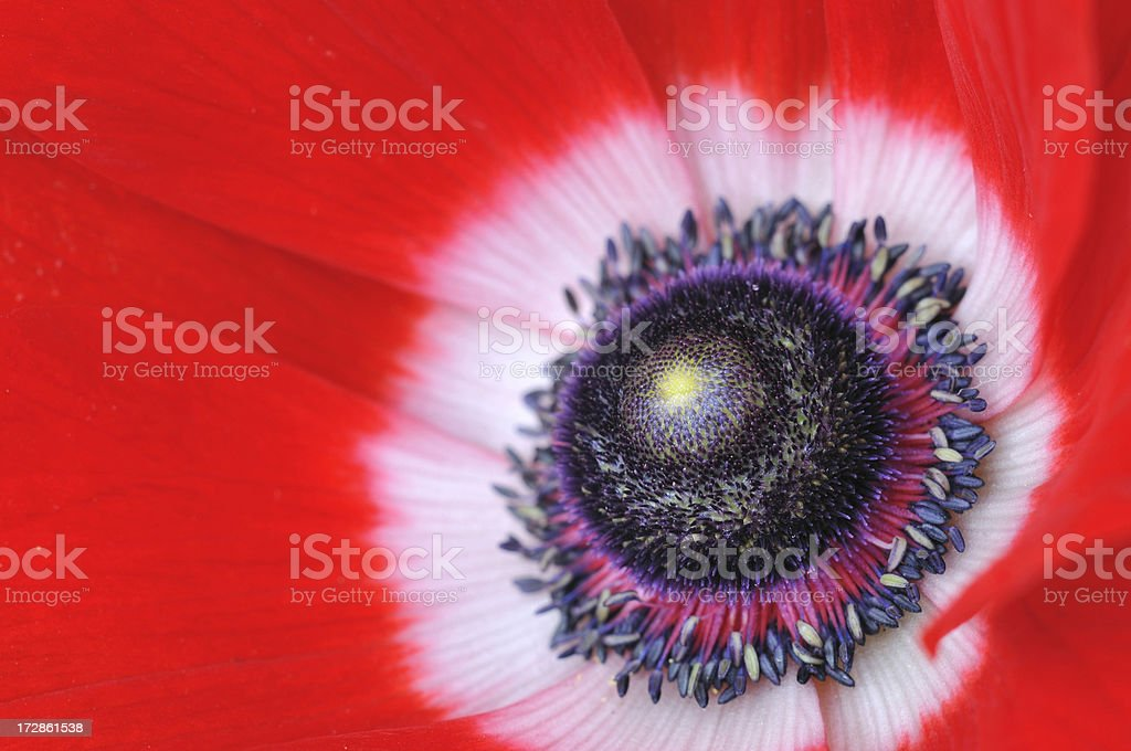Stamen of Red Oriental Poppy royalty-free stock photo