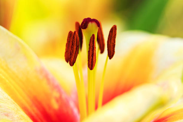 Stamens and pistil of orange red lily close-up stock photo