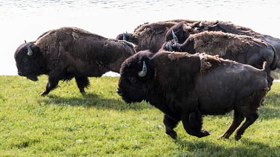 istock Stampeding Bison - Yellowstone National Park 1003239064