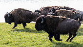 A herd of wild bison stampeding in Yellowstone National Park near the Yellowstone River.