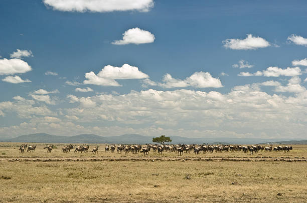 Stampeding in Masai Mara  wildebeest running stock pictures, royalty-free photos & images