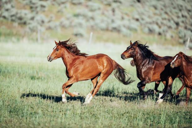 Rennende Wildpferde in USA – Foto