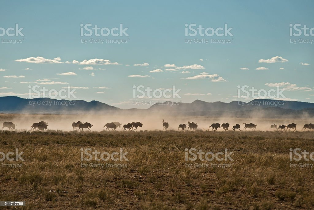 Stampeding wildebeest, South Africa stock photo