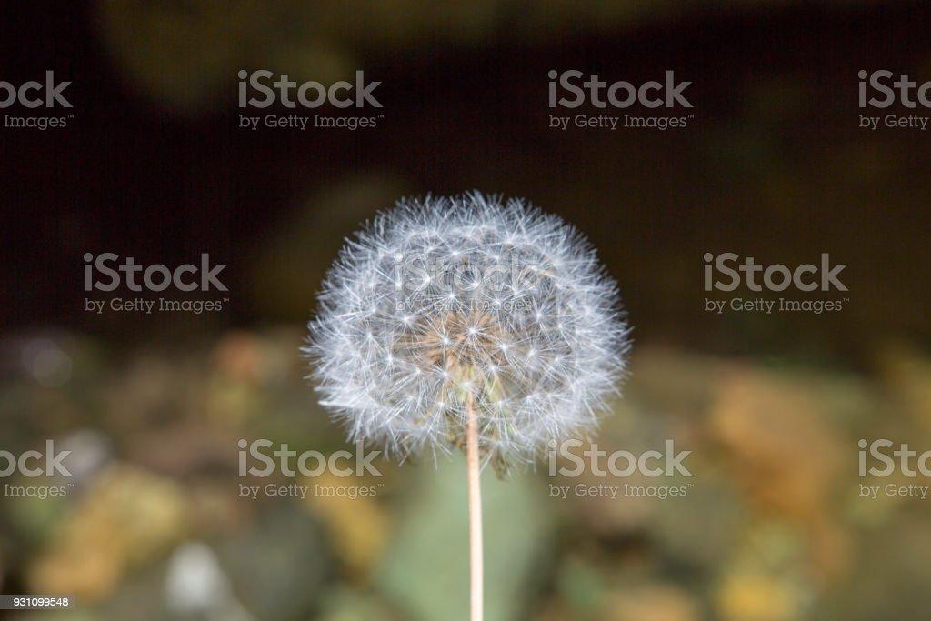 Bulanık arka plan ile yalnız Blowball dur. - Royalty-free ABD Stok görsel