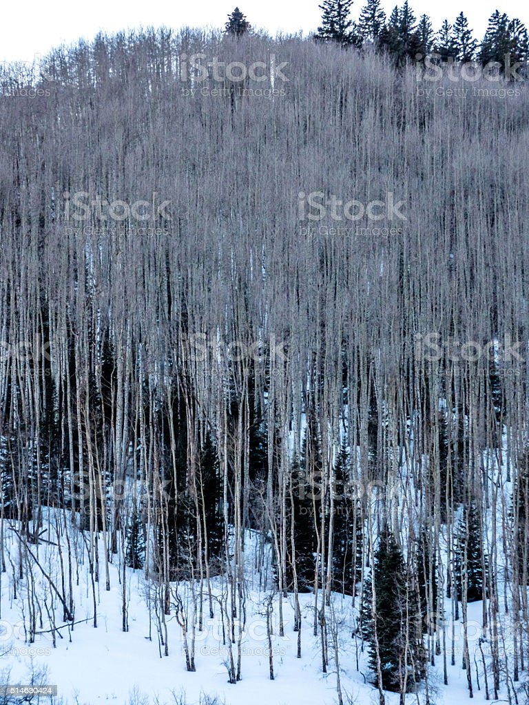 Stand of Aspens in Wiinter stock photo
