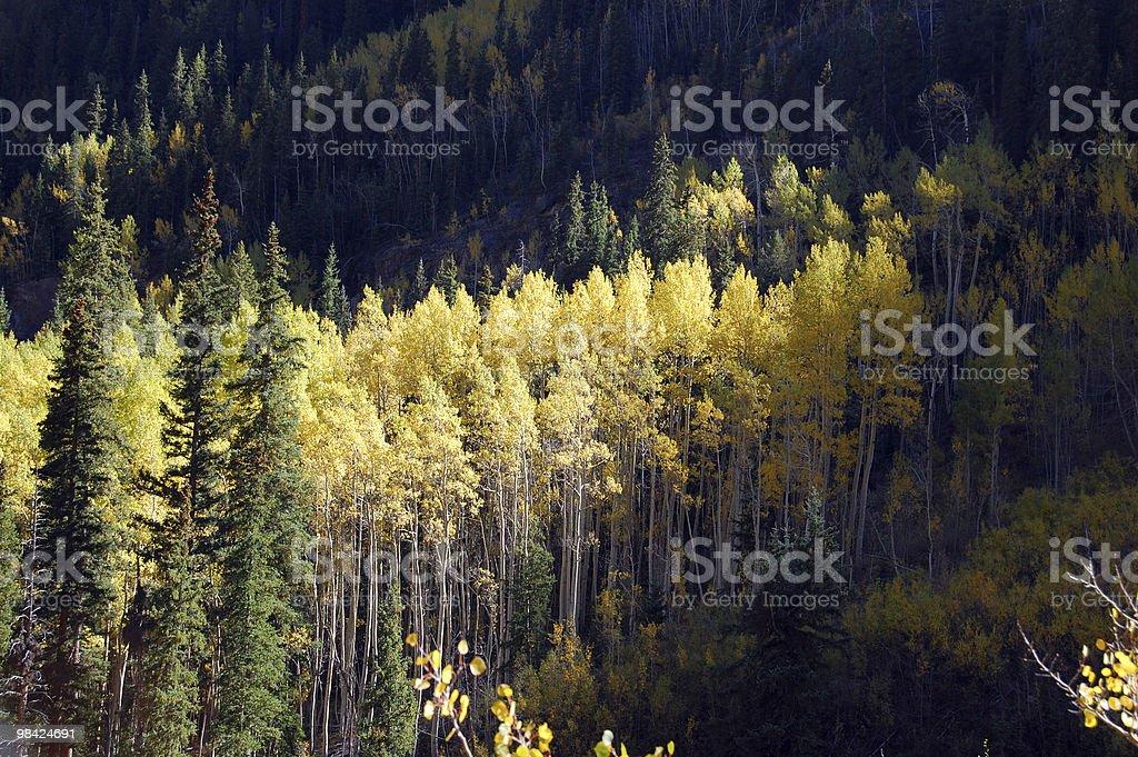 Stand of Autumn Aspen Trees royalty-free stock photo