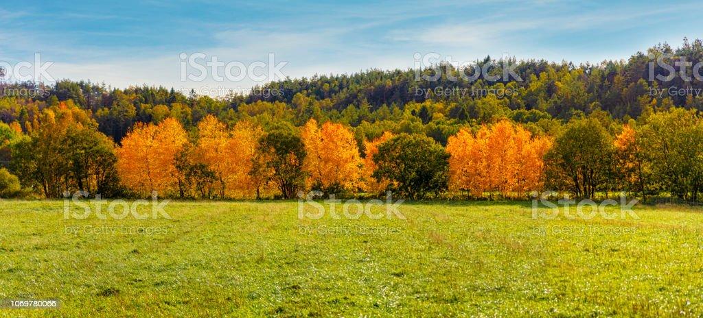 Stativ av höstens björkar bildbanksfoto