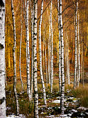 Stand of autumn Birch trees