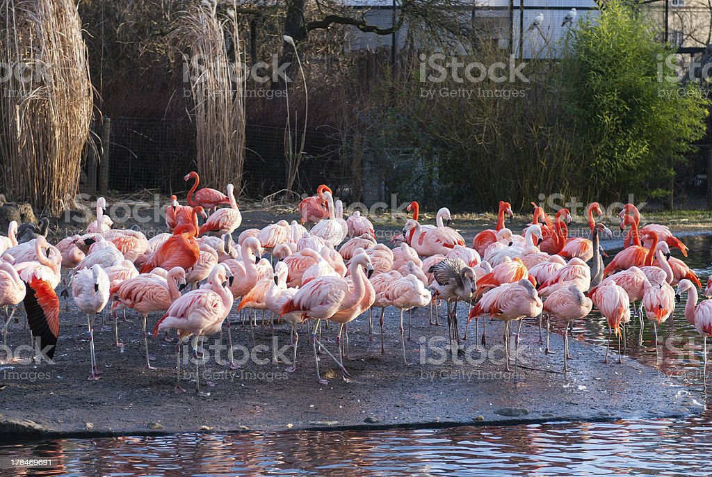 Stand of Flamingos royalty-free stock photo