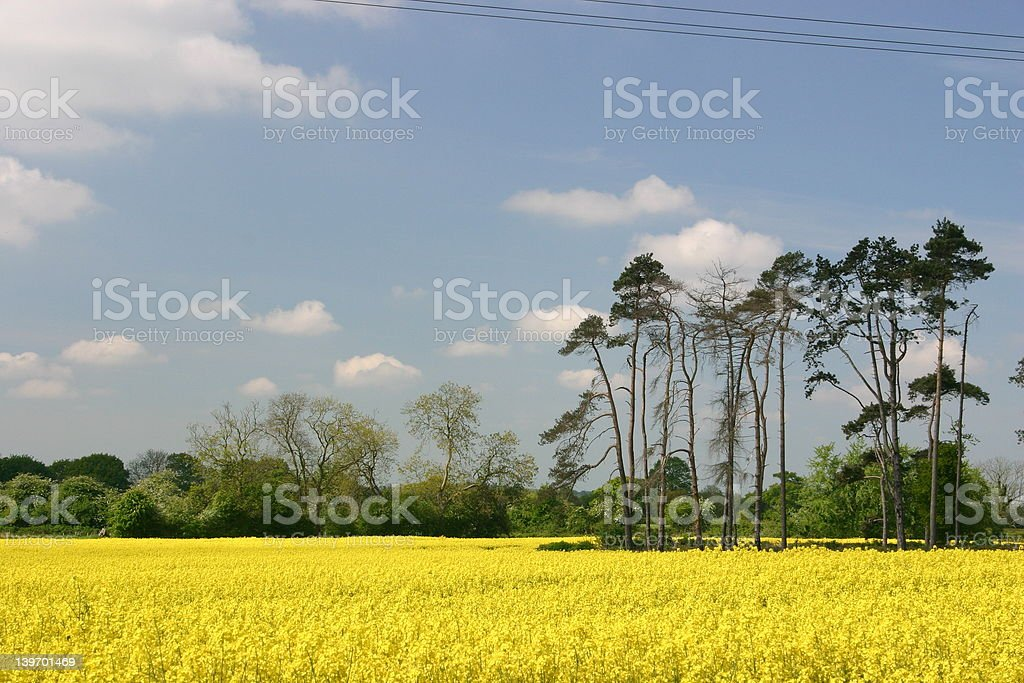 Stand of spruce trees stock photo