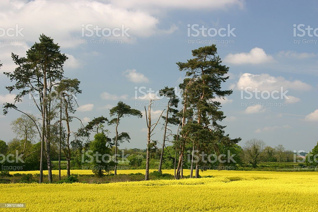 Stand of trees stock photo