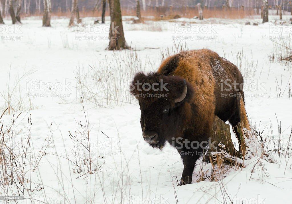 Freistehende bison (zubr). Ort : Russland, Danki Dorf, Prioksko-Terrasniy-Kindergarten – Foto