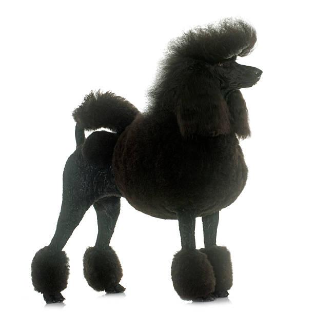 standard black poodle - Photo