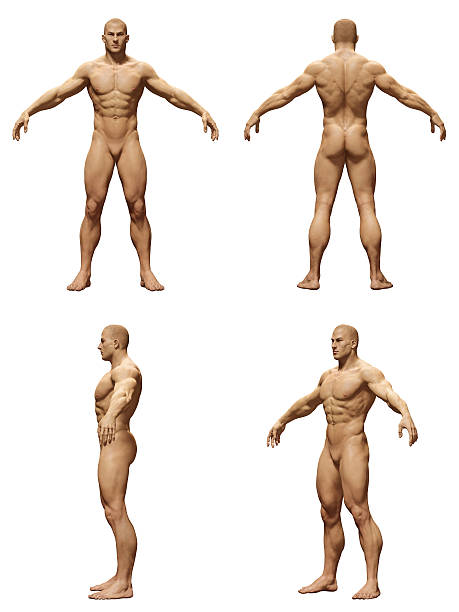 Royalty Free Man Body Anatomy Front Back And Side Pictures, Images ...