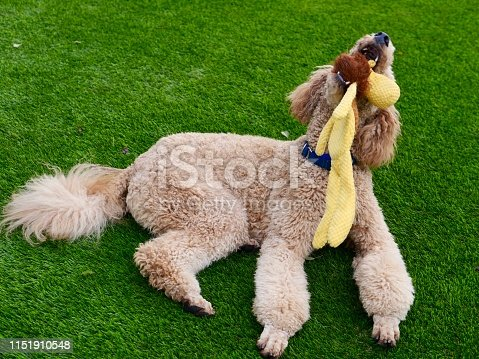 Big brown poodle playing on grassy area  with toy and other dog, Santa Monica, Ca