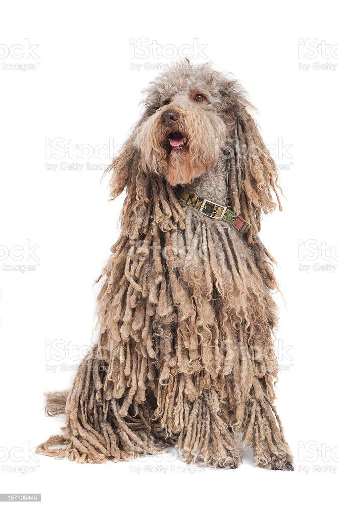 Standard Poodle stock photo