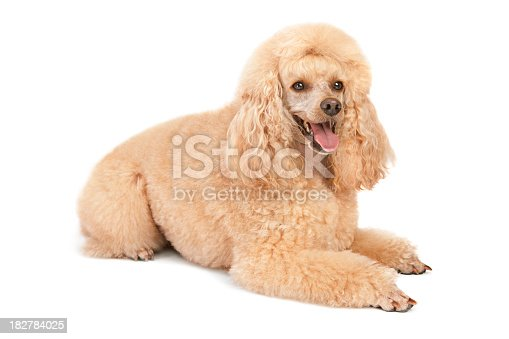 Standard poodle (on the small side) sitting down