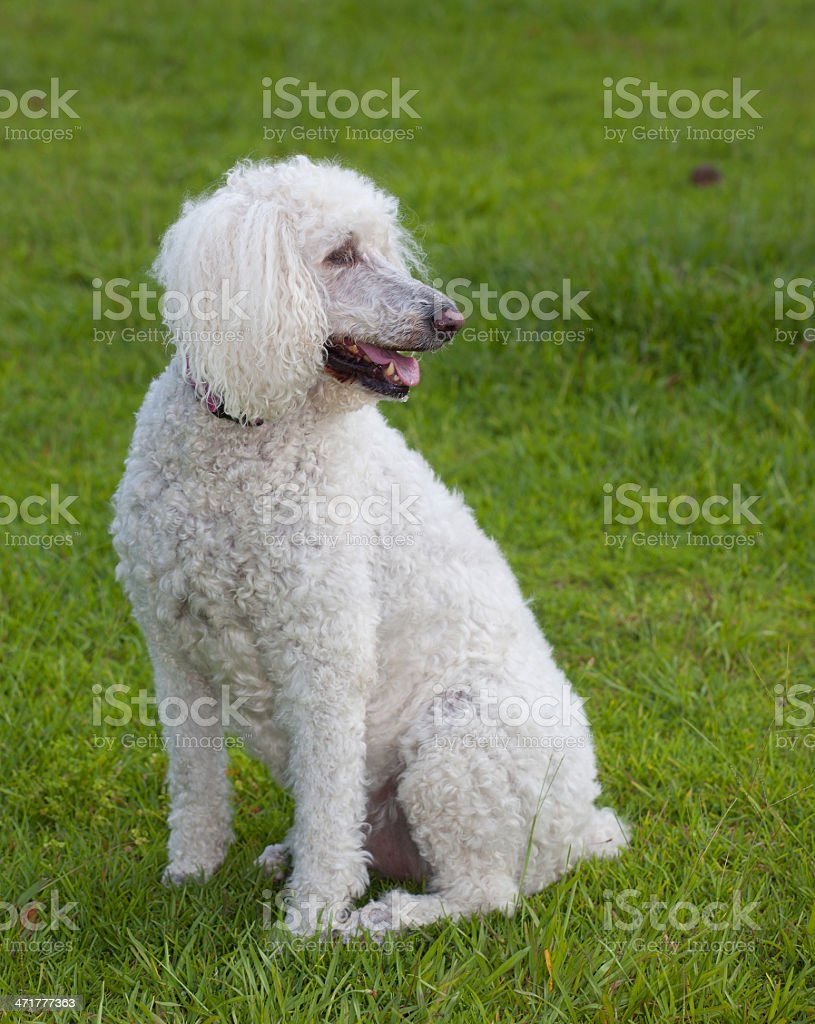 Standard poodle royalty-free stock photo