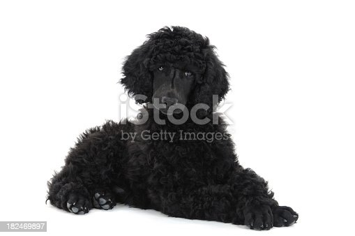 Black standard poodle puppy poses for a portrait on a white background.