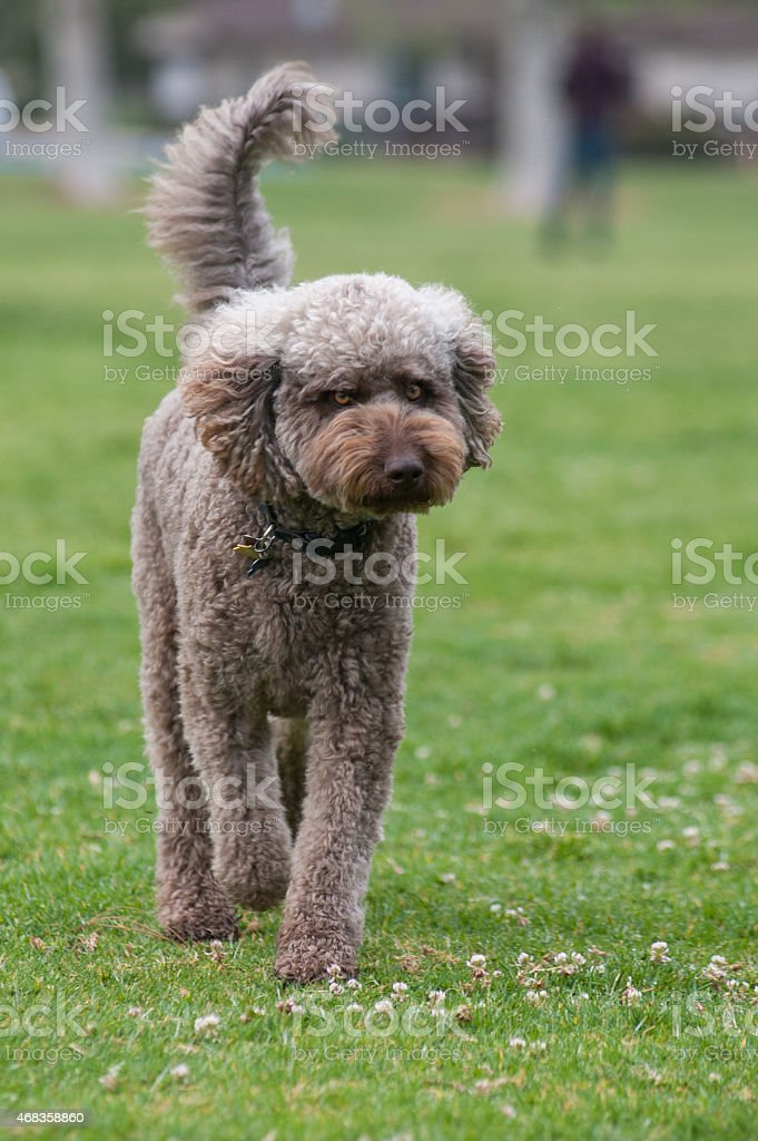Standard Poodle strolling across grass royalty-free stock photo