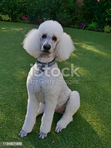 Well groomed Standard Poodle Pets posing for the camera