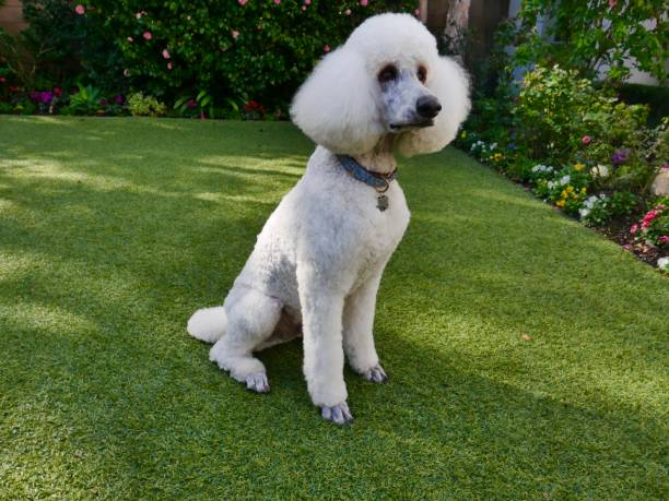 Standard Poodles in Backyard stock photo