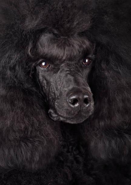 Standart black poodle picture id1154333729?b=1&k=6&m=1154333729&s=612x612&w=0&h=qcgql9y4wel95 swreq4kp2rrpohrh6 hgxke6bfyje=
