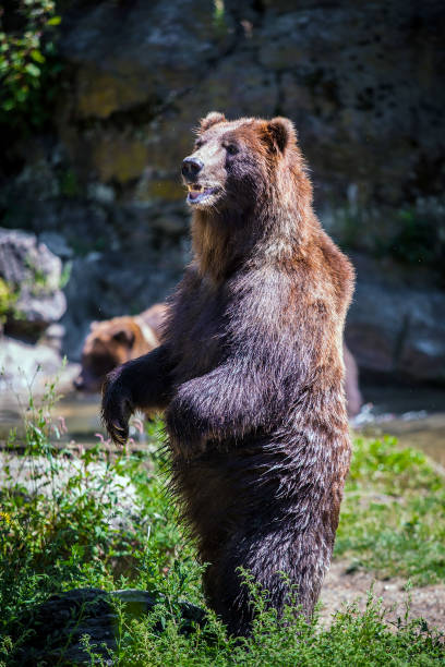Best Angry Bear Stock Photos, Pictures & Royalty-Free ...