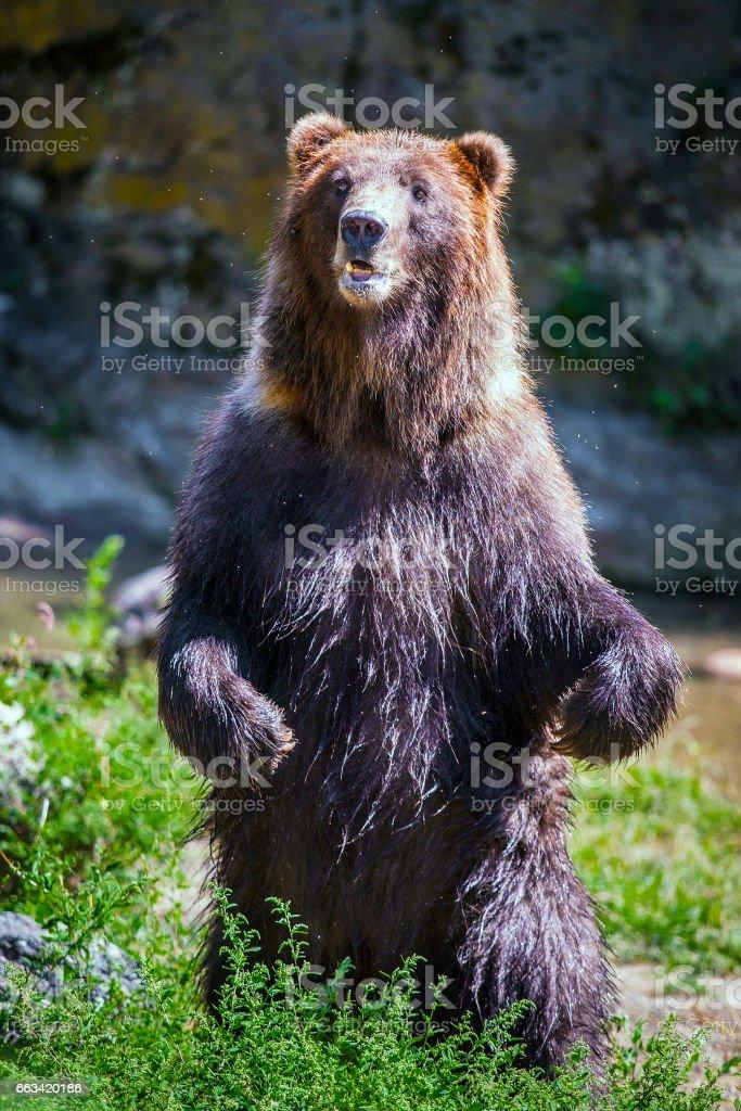 Pé de urso - foto de acervo